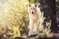 Wild Youth - Polarwolf by Johannes Nollmeyer on 500px