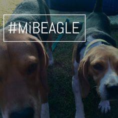 #MiBEAGLE #LocosPorLosBeagle #madewithstudio