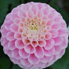 Dahlia 'Wizard of Oz' - Rose Cottage Plants