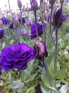 ABC 3 Purple Lisianthus