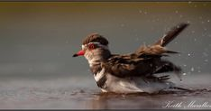 A Three-banded #Plover having a rinse at #Zimanga. Bird, Photography, Animals, Photograph, Animales, Animaux, Birds, Fotografie, Photo Shoot