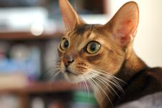 The Abyssinian cat is believed to be a direct descendant of the sacred cats of Egypt due to their regal appearance and remarkable resemblance to Egyptian bronze statues and paintings.