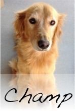 This is Champ - 8 yrs. He is an owner surrender due to lack of time. He gets along with other dogs, cats and kids, knows basic commands, is potty trained, has good house manners and walks well on leash. Champ is in good health and is an active boy. He is looking for a forever home and is at Southern Arizona Golden Retriever Rescue.