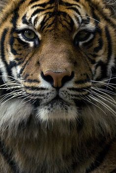 Natures Doorways - animalgazing: Tiger Face by urbanmenagerie on...