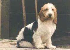 Zdjęcie psa rasy petit basset griffon vendeen