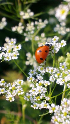 "08-08-2014 pictureperfectforyou:  (via 500px / Photo ""ladybeetle "" by Ita Mihai Ionescu)"