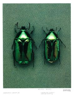 Cetonine scarabs