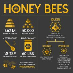 Infographic about bees. Honey Bee Facts, Bee Activities, Honey Benefits, Bee Farm, Best Honey, Backyard Beekeeping, Bee Friendly, Save The Bees, Bees Knees