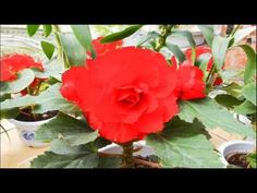 Kimjongilia is a flower named after the late North Korean leader Kim Jong-il. It is a hybrid cultivar of tuberous begonia, registered as Begonia × tuberhybri. Rose, Flowers, Youtube, Plants, Pink, Plant, Roses, Royal Icing Flowers, Flower