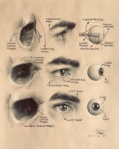 Ideas eye anatomy art awesome for 2019 Facial Anatomy, Eye Anatomy, Anatomy Study, Anatomy Art, Anatomy Drawing, Anatomy Reference, Anatomy Organs, Heart Anatomy, Human Anatomy