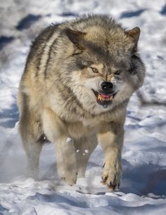 Wildlife - Wolf - The tiger and the lion may be more powerful. but the wolf does not perform in the circus. Wolf Photos, Wolf Pictures, Wolf Love, Husky, Beautiful Wolves, Animals Beautiful, Der Steppenwolf, Wolf Hybrid, Angry Wolf