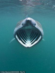 A basking shark off the Inner Hebrides, Scotland