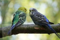 Parakeet Cage, Budgie Parakeet, Cockatiel, Budgies, Types Of Pet Birds, Budgerigar Bird, Female Peacock, Colorful Parrots, Colorful Birds