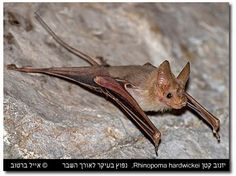 Mouse-tailed Bat