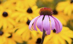 Der Gelbe Sonnenhut oder Gewöhnliche Sonnenhut (Rudbeckia) und der Scheinsonnenhut oder Rote Sonnenhut (Echinacea) sind beliebte Sommerstauden und sehen sich zum Verwechseln ähnlich. Dennoch sind die Pflanzen botanisch nicht so eng mit einander verwandt wie man früher annahm.