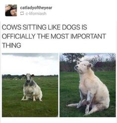 Cows sitting like dogs : AnimalsBeingDerps