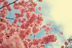 blossoms   # Pin++ for Pinterest #