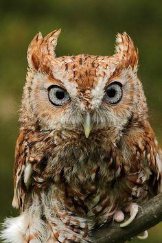 eastern screech owl. 4quarius Tumblr
