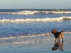 Dogs allowed! Our beaches are dog friendly  #southpadreisland #visitsouthpadreisland www.sopadre.com South Padre Island Beach, Dog Beach, Us Beaches, Dog Friends, Texas, Dreams, Big, Water, Parents