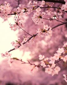 Cherry blossom, spring, pink