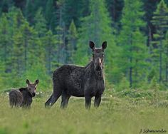moose and 2012 calf in Algonquin Park, Ontario