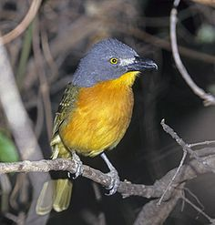Grey-headed Bush Shrike South African Birds, Colorful Birds, Bird Species, Jewels, Friends, Grey, Flowers, Nature, Animals
