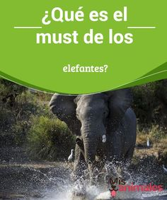 ¿Qué es el must de los elefantes?  A pesar de de que se trata de animales con un carácter pacífico, durante el must de los elefantes estos se tornan agresivos. #must #elefantes #carácter #pacífico #agresivos #misanimales Mundo Animal, Pet Health, Elephant, Pets, Pigs, Whales, Animal Kingdom, Characters, Elephants