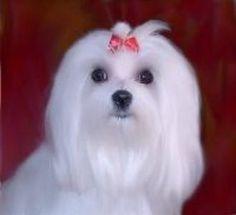 Maltese that looks like my Penny...   I love her so
