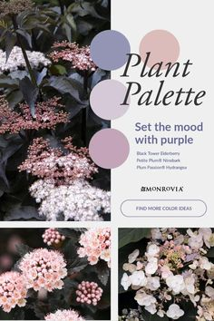 Shades of purple, silver, and plum bring a sophisticated elegance to the garden. The pink flower buds of the Black Tower Elderberry (Zones 4 – 8), opening to clouds of near-white against almost-black leaves, are the first to bloom, with the Plum Passion® Hydrangea (Zones 7 – 10) picking up the palette later in the season. The Japanese Painted Fern (Zones 4 – 8) serves up the footlights to this drama, with glowing silver leaves lined with rich purple. Shades Of Purple, Purple And Black, Japanese Painted Fern, Purple Plants, Black Leaves, Beautiful Gardens, Hydrangea, Garden Landscaping, Pink Flowers
