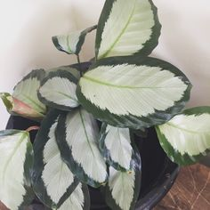 Calathea Plant, Houseplant, Indoor Plants Names, Miniature Plants, Rare Plants, Ficus, Greenery, Jazz, Plant Leaves