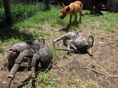 the giant coconut crab,it can grow to 1 m in size,this dog is thinking a few times before getting too close to this big guy.