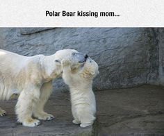 Funny pictures about Polar Bears Are Adorable. Oh, and cool pics about Polar Bears Are Adorable. Also, Polar Bears Are Adorable photos. Cute Animal Videos, Cute Animal Pictures, Adorable Pictures, Cute Baby Animals, Funny Animals, Baby Polar Bears, Teddy Bears, Mother Bears, Bear Photos