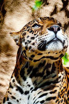 Jaguar | Interesting Pictures