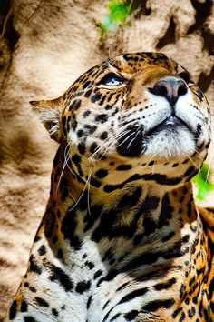 Looking to the Heavens Jaguar   Interesting Pictures