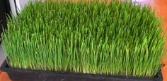 How To Grow Wheatgrass At Home… | http://www.ecosnippets.com/gardening/how-to-grow-wheatgrass-at-home/