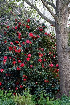 Camellia japonica (Camellia, Common Camellia, Japanese Camellia) | North Carolina Extension Gardener Plant Toolbox Camellia Japonica, Camellia Plant, Flowering Bushes, Trees And Shrubs, Kalmia Latifolia, Soil Texture, Planting Plan, Herbaceous Perennials, Yellow Leaves