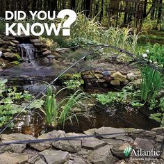 ✳️::TechTip:: The Pond and Garden Protector makes an ideal instant line of defense against many types of predators including osprey, hawks, herons, egrets, king fishers and raccoons. Once assembled the Pond and Garden Protector can easily be moved by one person, handy for immediate deployment or easy access to your water feature. #atlanticwatergardens #pond #garden #protector #waterfeatures #techtip