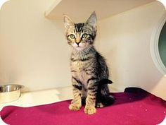 Los Angeles, CA - Domestic Shorthair. Meet Calpurnius, a cat for adoption. http://www.adoptapet.com/pet/13617156-los-angeles-california-cat