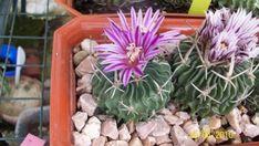 Cómo conseguir que los cactus florezcan sí o sí