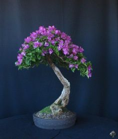 Bouganvillea, by Olga Vázquez de Quevedo from Valencia, Venezuela.  Height: 65 cm  In training since 2005.  Added by Gustavo Celayes.