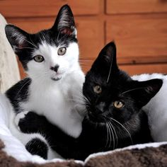 Two Cute Little Kitten Brothers Posing for the Camera