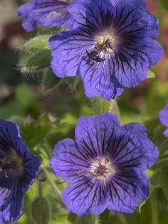 Cranesbill for sale buy Geranium x magnificum 'Blue Blood'