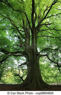 Stock Photo - Old Beech in the Forest - stock image, images, royalty free photo, stock photos, stock photograph, stock photographs, picture, pictures, graphic, graphics