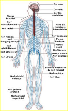 Labeled Picture Of The Nervous System . Labeled Picture Of The Nervous System Human Body Diagram Nervous System Elegant Nervous System Diagram Nervous System Diagram, Nervous System Anatomy, Human Nervous System, Peripheral Nervous System, Central Nervous System, Endocrine System, Femoral Nerve, Ulnar Nerve, Sciatic Nerve