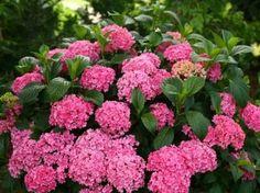 11 Hydrangea Growing Tips