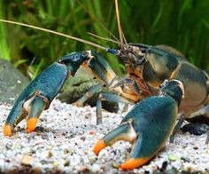 Researchers-name-new-crayfish-species-after-Edward-Snowden.jpg (500×417)
