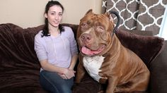 This dog just may be the world's largest Pit Bull. Only 18-months-old, Hulk weighs a hefty 175 pounds. He's also best friends with a 3-year-old boy.