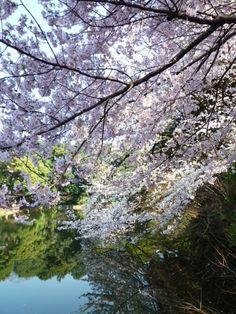 """Primavera """"Shinjuku-Gyoen""""(Giardino), Shinjuku Tokyo Japan"""