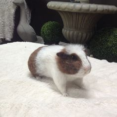 Needle Felted Guinea Pig https://www.etsy.com/listing/238468421/needle-felted-guinea-pig?ref=sr_gallery_27&ga_ex=etsy_finds&ga_ref=etsy_finds&ga_utm_source=newsletter&ga_utm_medium=email&ga_utm_campaign=etsy_finds_4nar_071715_27822611834_0_1&ga_campaign_label=etsy_finds_4nar&ga_euid=xGlAny5yaEGSg1CcnPnxDi8ClqG-&ga_eaid=75270031&ga_redirect=1&ga_search_type=all&ga_view_type=gallery