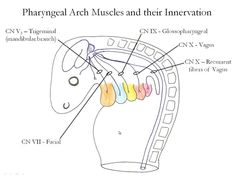 Medical Embryology - Development of the Pharyngeal Arches